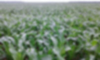 plantio 3.jpg