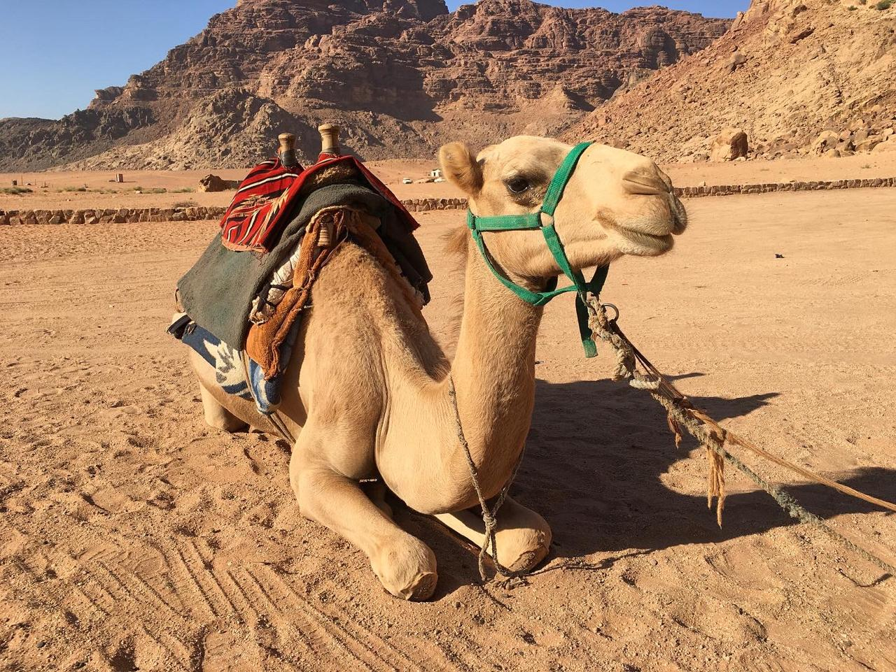 camel ride, taxi number 1 in Wadirum