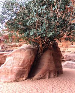desert tree - Wadi Rum