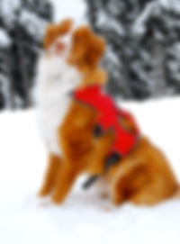 Darwin | Avalanche Dog | Cascade Mountain Rescu Dogs