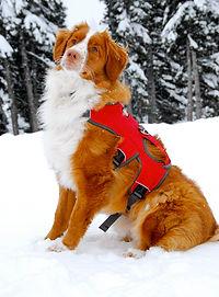 Darwin   Avalanche Dog   Cascade Mountain Rescu Dogs