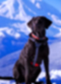 Kala | Avalanche Dog | Cascade Mountai Rescue Dogs