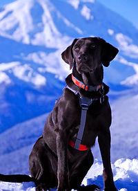 Kala   Avalanche Dog   Cascade Mountai Rescue Dogs