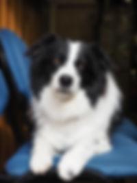 Piper   Avalanche Dog   Cascade Mountain Rescue Dogs