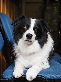 Piper | Avalanche Dog | Cascade Mountain Rescue Dogs