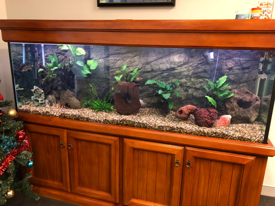 Business Aquarium with Discus Fish