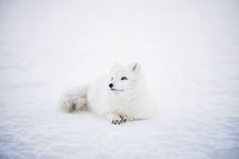 lovely husci dog