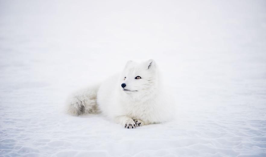 White Fox in White Snow - Buildout Pros