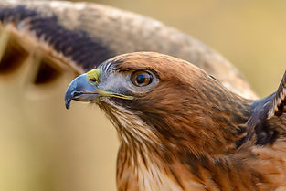 Red Tail Hawk.jpg