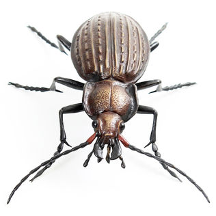 Bronze beetle and insect sculpture by Geckoman, John Noble-Milner, wildlife sculptor and artist. Granulated ground beetle Carabus granulatus