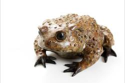 female common toad