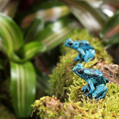 greeting card - azureus dart frogs (code P10)