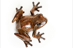 tree frog looking right