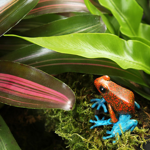 greeting card - strawberry dart frog (code P11)