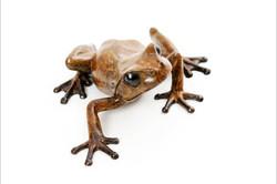 tree frog looking left