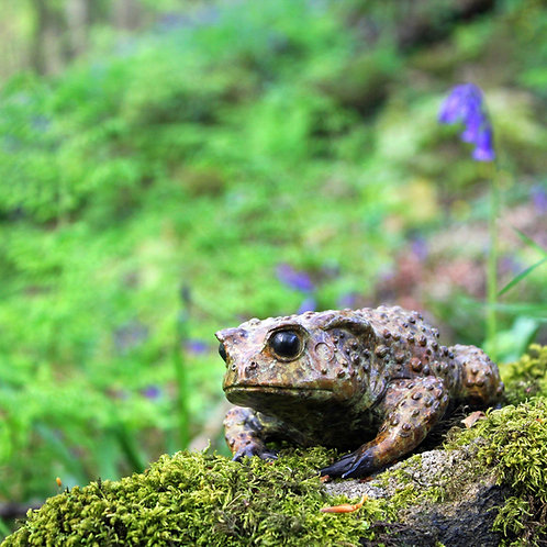 greeting card - mrs toad & bluebells (code P15)