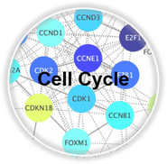 CellCyle_CLL.png