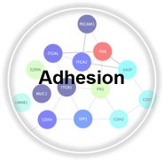 Adhesion_CLL.png