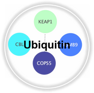 Ubiquitin_CLL.png
