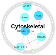 Cytoskeletal_CLL.png