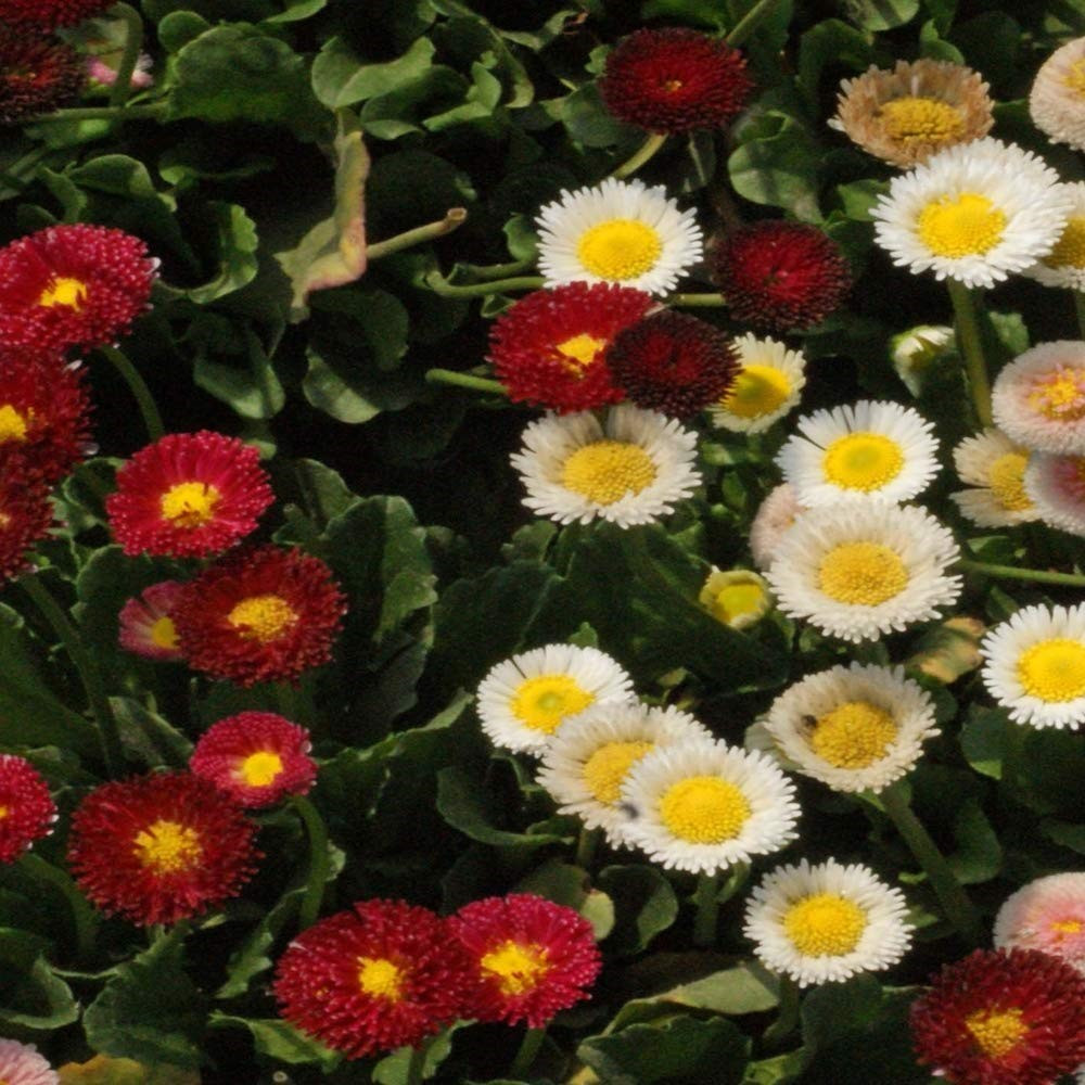 English Daisy (Bellis perennis)