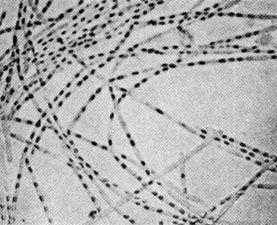 First published photographs of theanthrax bacillus. (Reference: Koch R. Verfahren zur Untersuchung, zum Conservieren und Photographieren der Bakterien.Beiträge zur Biologie der Pflanzen1877; 2:399–434.)
