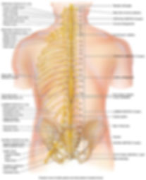 posterior view of entire spinal cord and