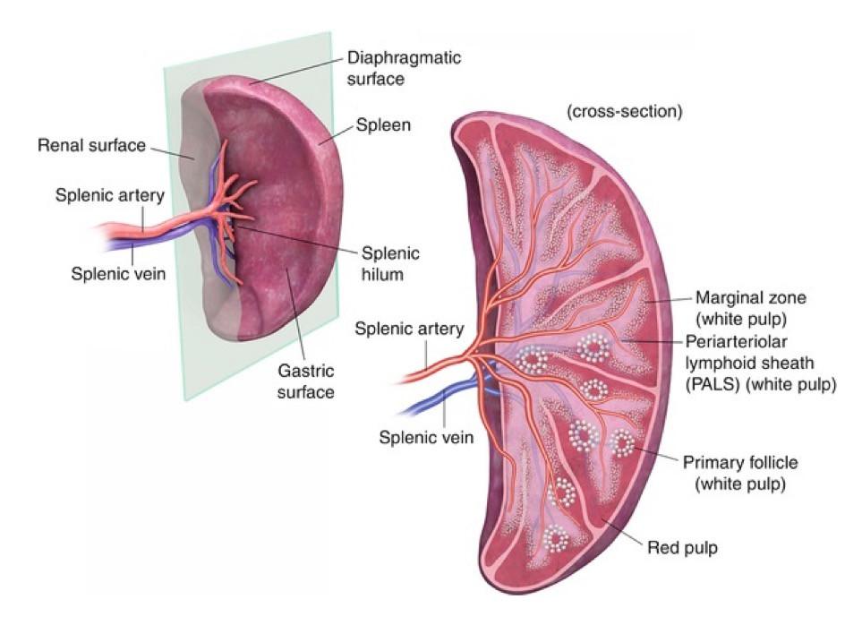 cross-section of the spleen