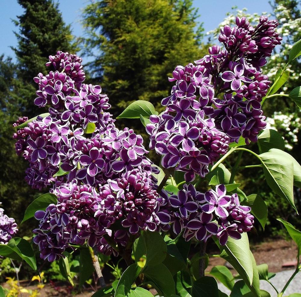 Lilac (Syringa vulgaris)
