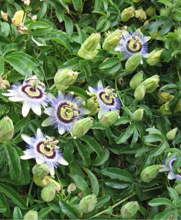 Passionflower - Pharmacological Studies