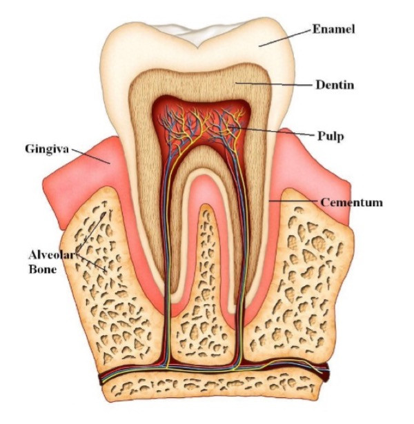 Root Canal Treatments and their Potential Health Consequences