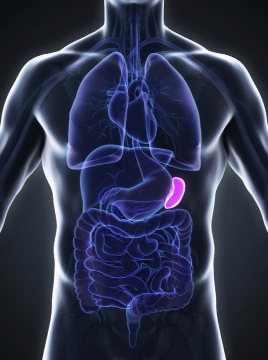 the forgotten organ: the spleen