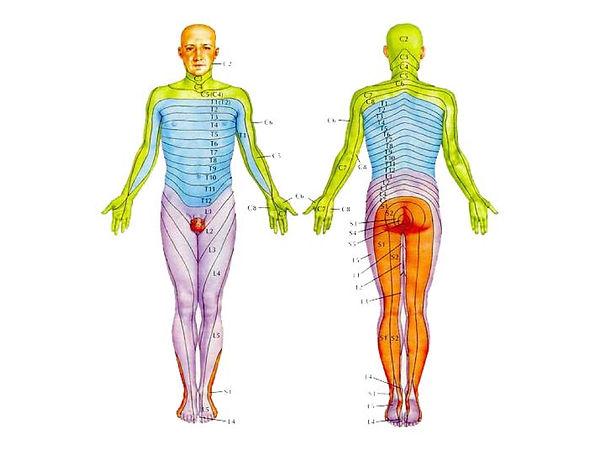 Color image of human body with segments correlating to vertebra