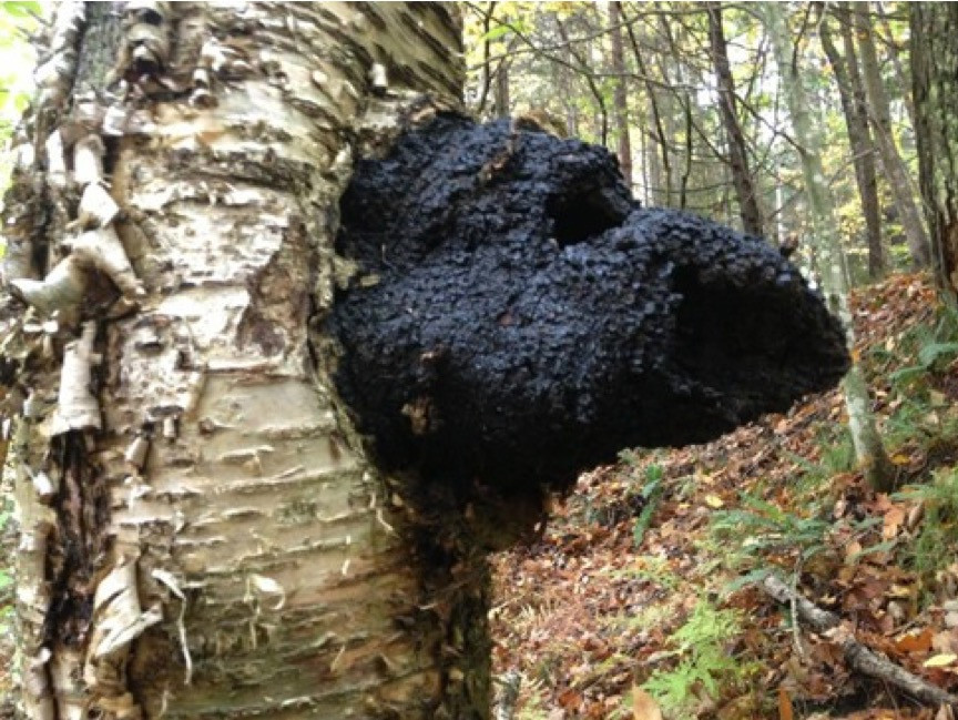 Chaga is recognized as a safe natural mushroom used for centuries with no known complications.