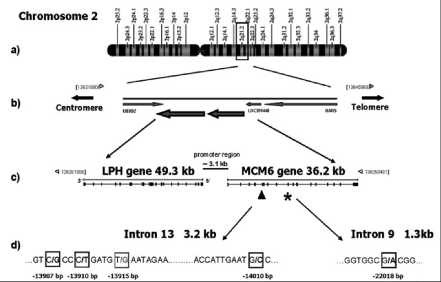 The above diagram demonstrates the location of the lactase (LPH) and MCM6 genes on chromosome 2.