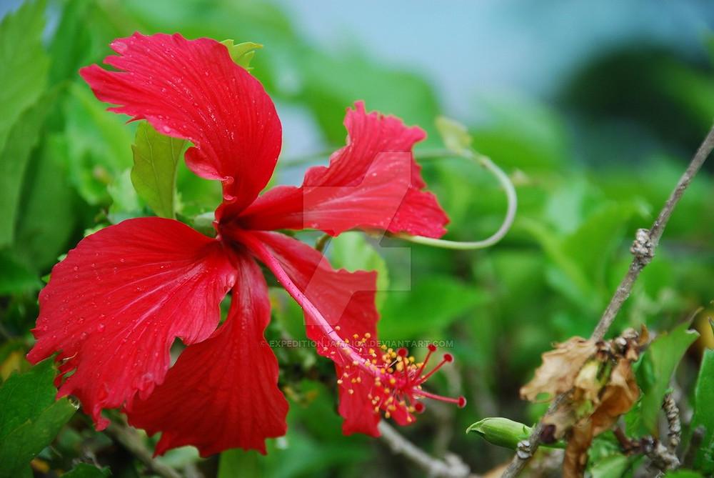 Jamaican Species Hibiscus sabdariffa