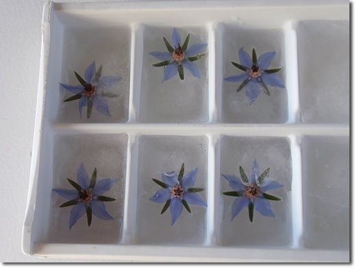 Borage ice cubes are the perfect way to chill lemonade