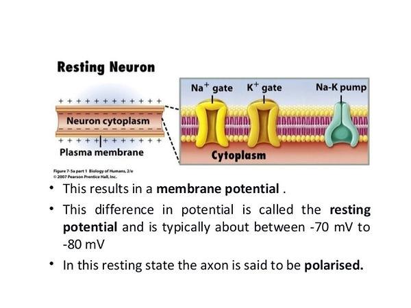 Resting Neuron