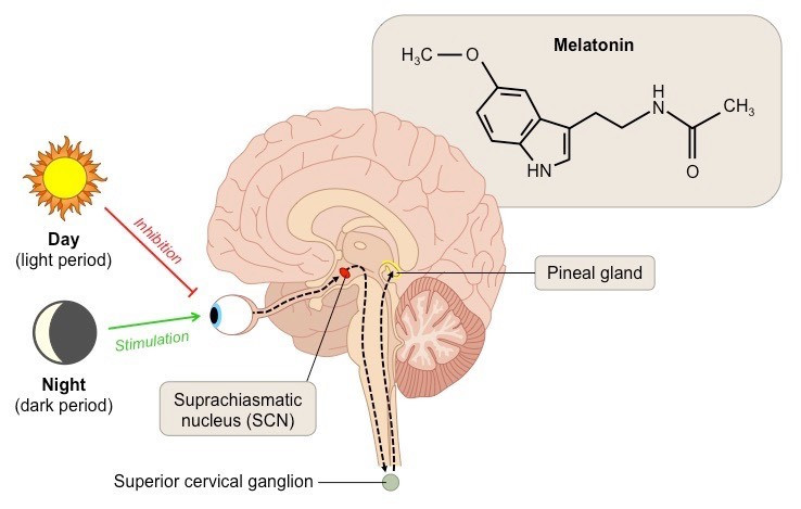 """Melatonin is secreted at night in response to darkness and is thereby associated with sleep, lowered core body temperature, and other nighttime physiological events. The period of melatonin secretion has been described as """"biological night""""."""