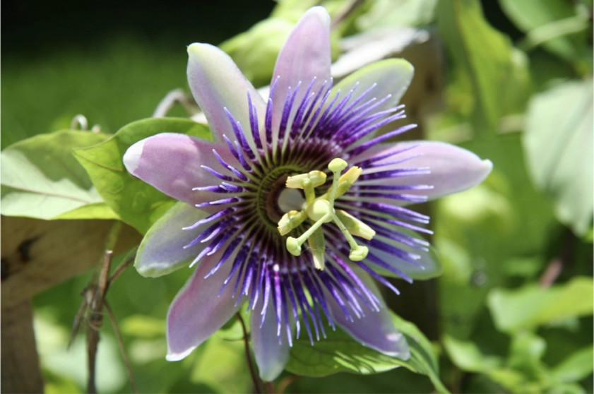 Passionflower - Availability and Dosage