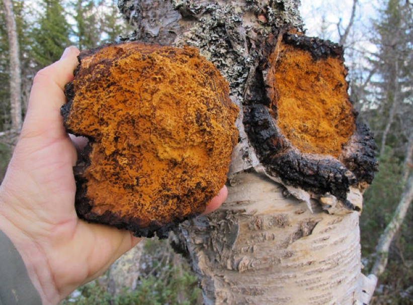 Chaga typically grows on birch trees