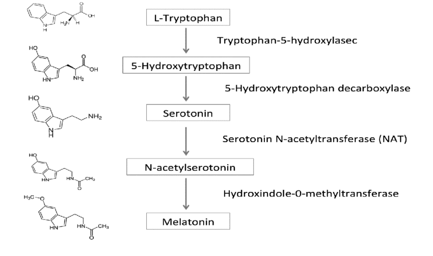 The melatonin precursor, serotonin, is also affected by exposure to daylight. Normally produced during the day, serotonin is only converted to melatonin in darkness.