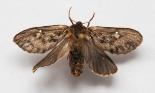 Hepialidae moth