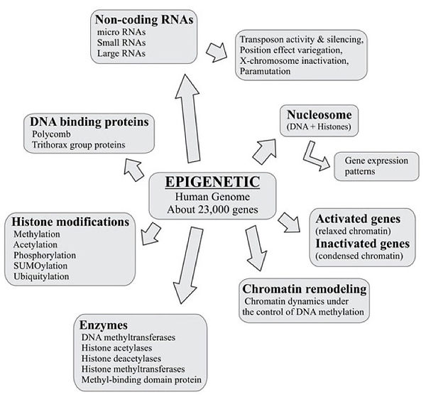 primary mechanisms involved in epigenetic changes that affect modifications in gene expression:  DNA methylation, Histone modifications, Non-coding RNAs (microRNAs)