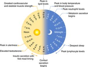 Melatonin cycle