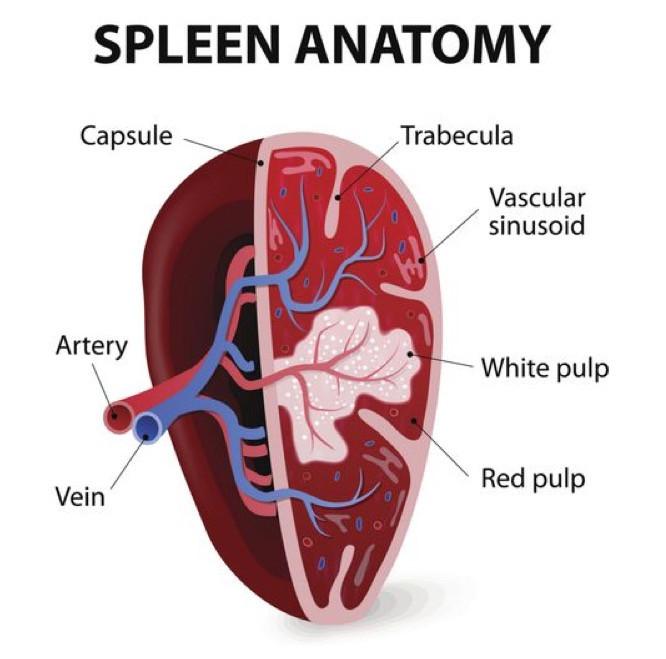 spleen anatomy