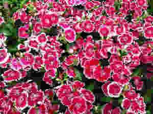 Dianthus (Dianthus chinensis)