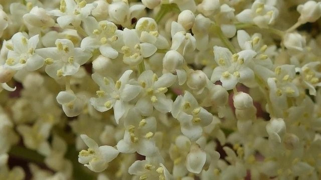 The flavor of the elderberry flowers does not come from the petals or nectar – it comes from the flowers' pollen. It's important to harvest the flower heads at the stage when the pollen is fresh, not before the flower buds open and not after the pollen is gone.