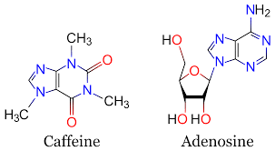Caffeine as a xanthine has a chemical structure like that of adenosine.