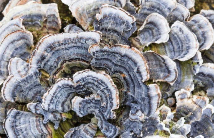 Coriolus versicolor (turkey-tail mushroom)